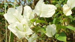 Un albero dei fiori bianchi nel parco tropicale, 4k, sfuocatura archivi video