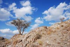 Un albero del ghaf Fotografie Stock Libere da Diritti