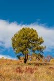 Un albero del larice Fotografia Stock