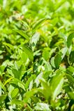 un albero del tè rimane il fondo verde dell'albero del tè Fotografia Stock Libera da Diritti