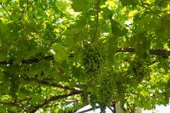 Un albero della vite con l'uva Fotografie Stock