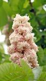 Un albero delle castagne di fioritura Fotografia Stock Libera da Diritti