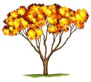 Un albero di acero giapponese del bloodgood Fotografie Stock Libere da Diritti