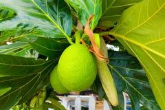 Un albero di alberi del pane nei Caraibi Immagini Stock Libere da Diritti