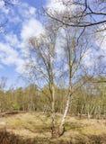 Un albero di betulla solo nei colori di primavera nel parco Ockenburg, Den Haag, Paesi Bassi immagine stock