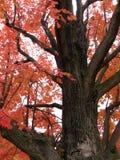 Un albero di caduta Immagine Stock