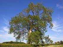 Un albero di cenere maturo nella campagna scenica dei wolds di Yorkshire nella primavera Immagini Stock Libere da Diritti