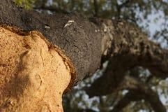 Un albero di corkwood Fotografia Stock