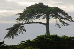 Un albero di Cypress solo nella baia del Monterey Immagine Stock Libera da Diritti