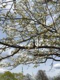 Un albero di fioritura in primavera fotografie stock libere da diritti