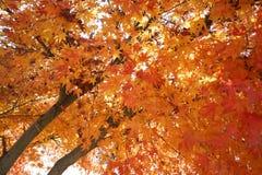 Un albero di ginko in autunno Fotografia Stock Libera da Diritti