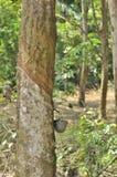 Un albero di gomma Fotografia Stock Libera da Diritti