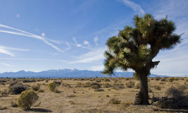 Un albero di Joshua del deserto di Mojave Immagine Stock Libera da Diritti