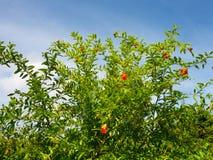 Un albero di melograno che sboccia in un giardino tropicale Fotografia Stock