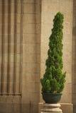 Un albero di pino Immagine Stock