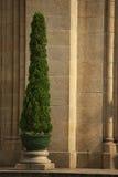 Un albero di pino Fotografia Stock