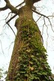 Un albero di pioppo Immagine Stock Libera da Diritti