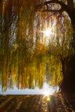 Un albero di salice piangente vicino ad un lago ed i suoi rami che filtrano NIC immagine stock