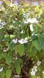 Un albero in fiore bianco Fotografia Stock Libera da Diritti