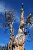 Un albero guasto in Montagne Rocciose Immagine Stock