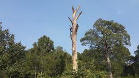 Un albero inaridito della conifera fotografie stock