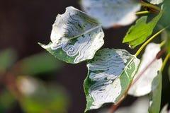 Un albero infestato con gli insetti del minatore di cavo Fotografia Stock Libera da Diritti