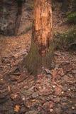 Un albero infettato con uno scarabeo di corteccia, pezzi di corteccia caduti dall'albero fotografie stock libere da diritti