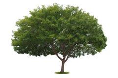 Un albero isolato fotografia stock