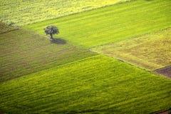 Un albero isolato fra i verdi Immagini Stock