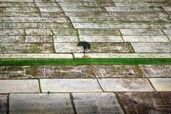 Un albero isolato fra le risaie Fotografia Stock Libera da Diritti