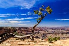 Un albero isolato orna l'orlo del sud di Grand Canyon, trascurante il fiume Colorado Immagine Stock Libera da Diritti