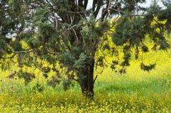 Un albero in mezzo dei fiori gialli Fotografia Stock Libera da Diritti