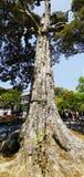 Un albero molto vecchio nel parco di Kyoto fotografie stock