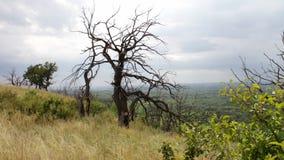 Un albero morto asciutto solo sul pendio di collina Filiali torte L'albero è morto da mancanza di acqua o di fulmine Tramonto spe video d archivio