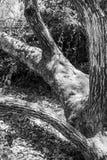 Un albero nel parco sparato in bianco e nero Fotografia Stock Libera da Diritti