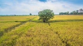 Un albero nelle risaie Fotografia Stock