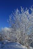 Un albero in neve contro il cielo blu Fotografie Stock