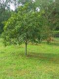 Un albero perfetto immagine stock libera da diritti