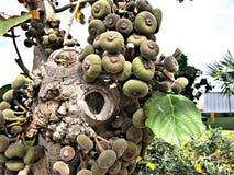 Un albero in pieno dei frutti Fotografia Stock Libera da Diritti