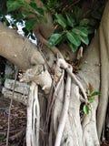 Un albero in pieno delle radici Fotografie Stock Libere da Diritti