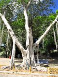 Un albero in pieno delle radici Fotografia Stock
