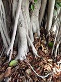 Un albero in pieno delle radici Immagini Stock