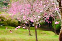 Un albero rosa del fiore Immagini Stock Libere da Diritti