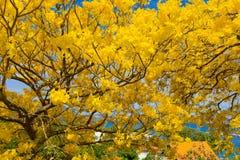 Un albero sbocciante di poui nei Caraibi Immagini Stock
