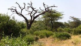 Un albero senza foglie in mezzo delle piante verdi fotografie stock libere da diritti