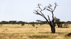 Un albero senza foglie in mezzo delle piante verdi fotografia stock libera da diritti