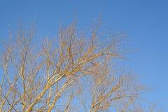 Un albero senza foglie nell'inverno contro il cielo blu immagine stock