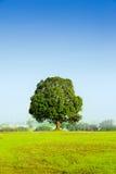 Un albero solo che sta maestoso al campo con nebbia alla b Fotografia Stock