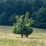Un albero solo su un prato della montagna immagini stock
