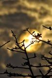Un albero sopra un cielo dorato Fotografia Stock